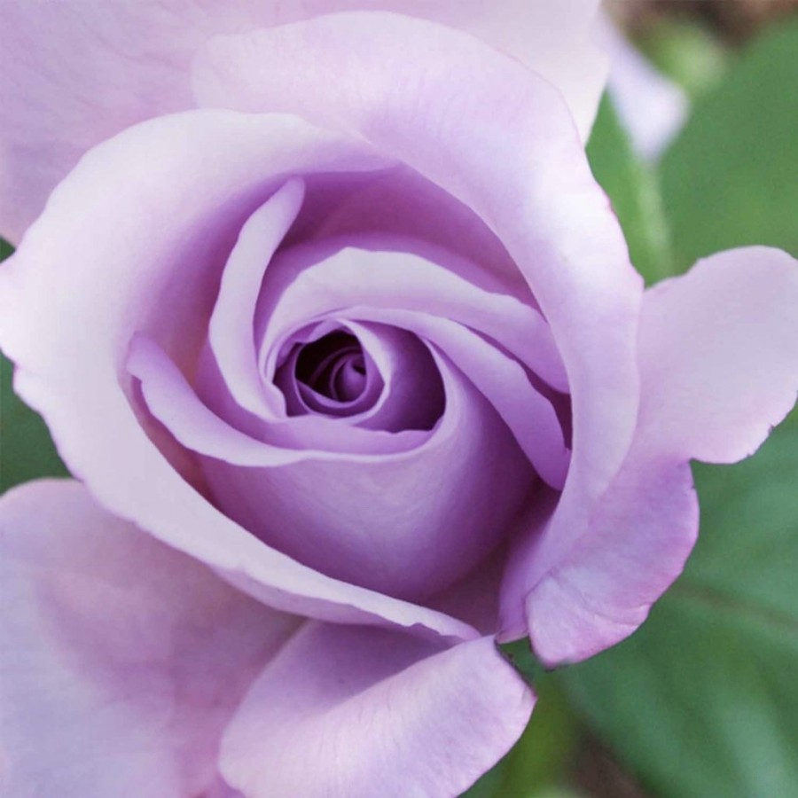 Blue Girl - Hybrid Tea