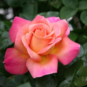 Chicago Peace - Hybrid Tea