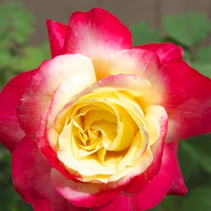 Double Delight - Hybrid Tea