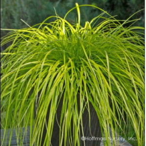 Everillo Sedge