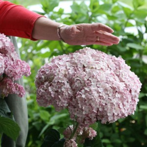 INCREDIBALL® Blush Hydrangea Smooth