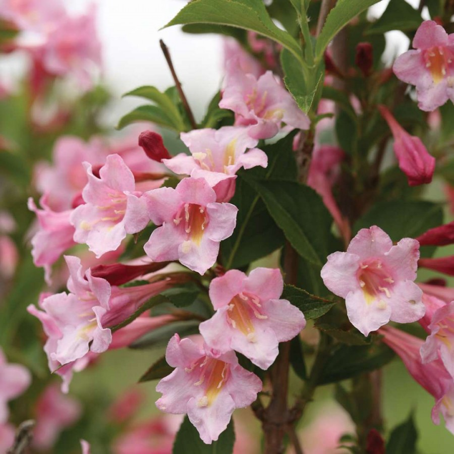 Sonic Bloom® Pure Pink Weigela