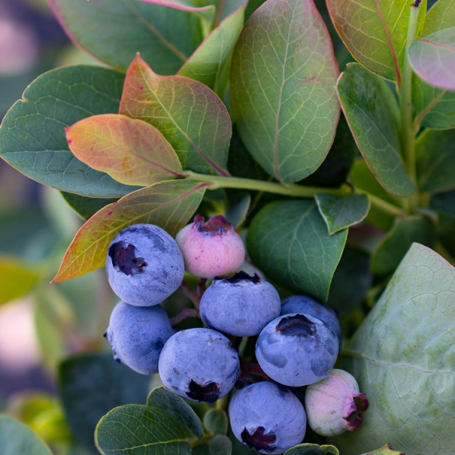 Bushel and Berry ® Silver Dollar ® Blueberry