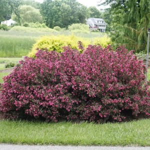 Wine and Roses® Weigela
